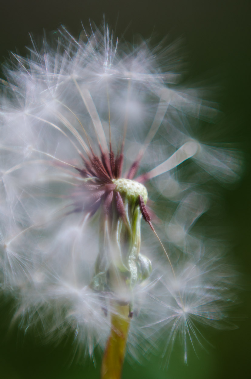 dandelion 2 ©JamesECockroft-20140503