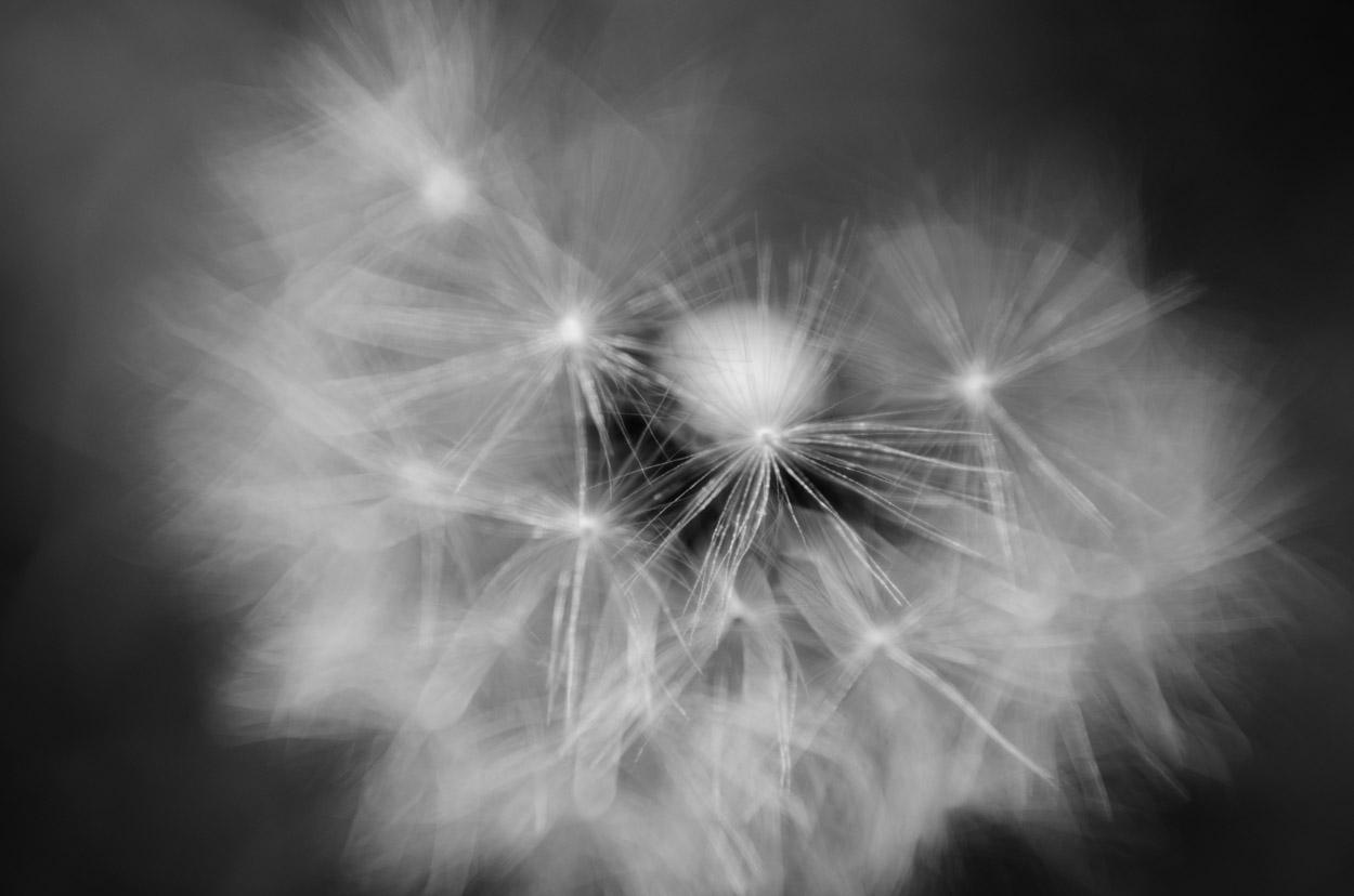 dandeliono|1|©JamesECockroft-20140503