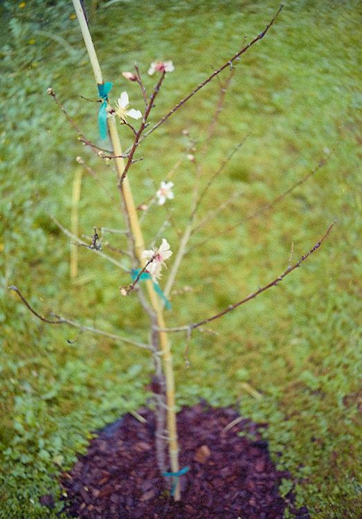 baby peach tree in bloom