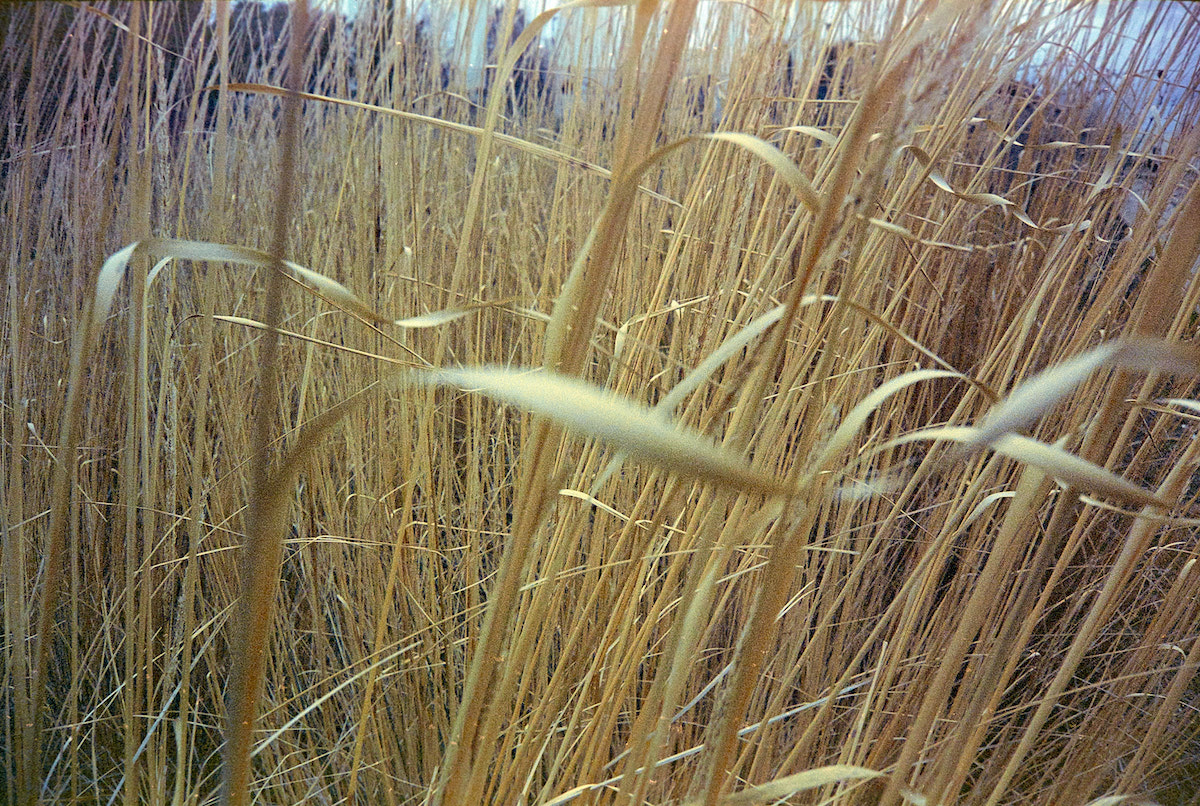 grasses in need of pruning