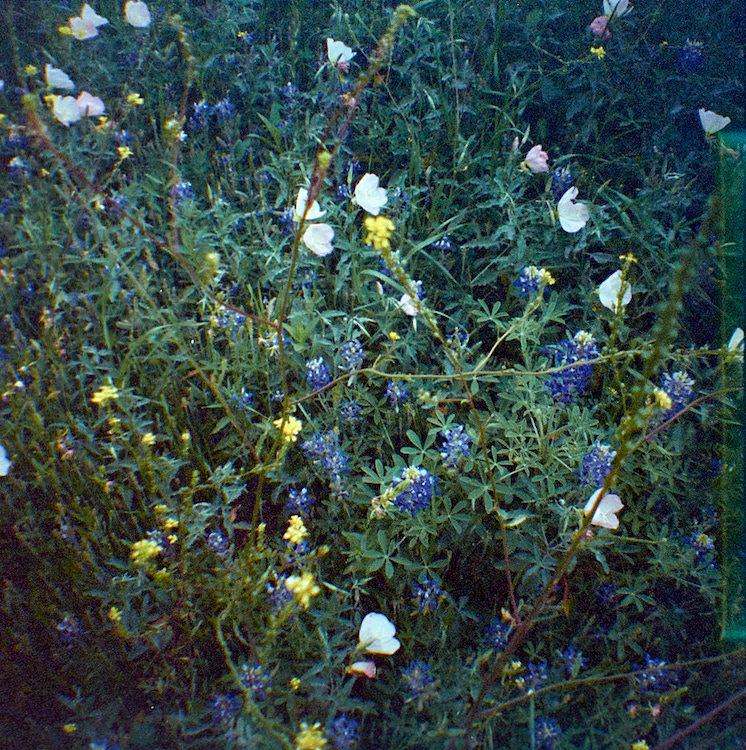 weeds (bluebonnets)